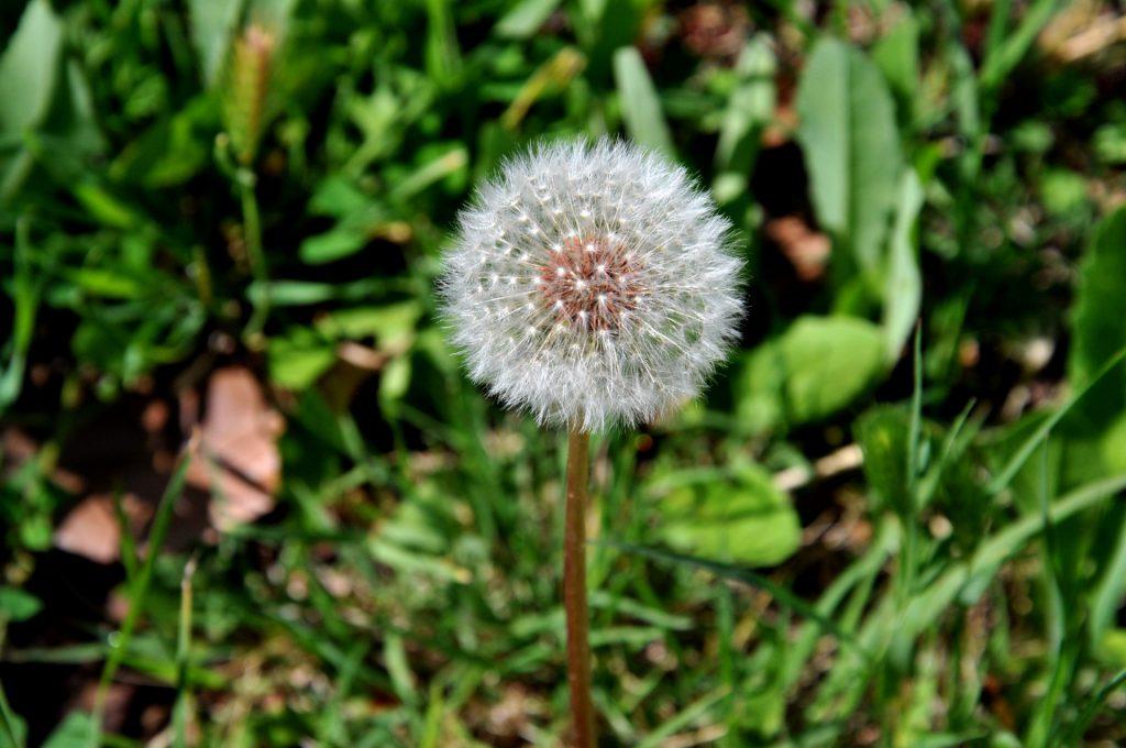 Le pissenlit une plante aux effets anti cancer
